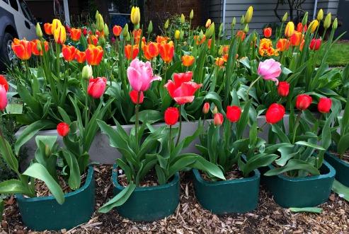 tulips seattle greenwood