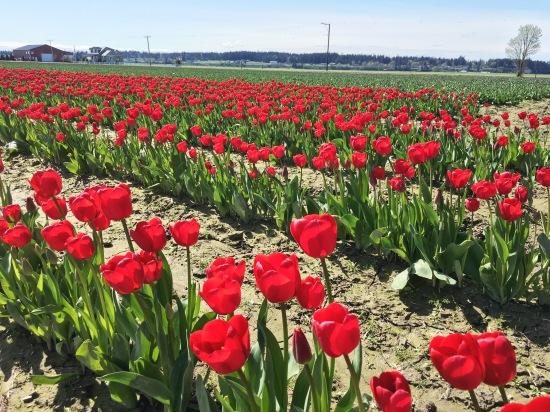 Red tulips, Skagit Valley Tulip Festival
