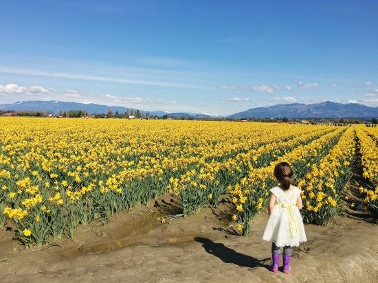 Daffodil field, Skagit Valley Tulip Festival